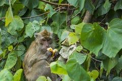享受面包片的野生猴子 库存照片