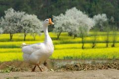 享受鹅春天阳光 库存图片