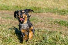 享有生活的逗人喜爱的达克斯猎犬 库存图片