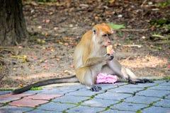 享用冰淇凌的猴子 免版税图库摄影