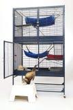 享用午餐时间和豪华笼子的白鼬 免版税库存照片