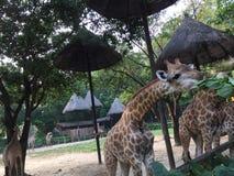 享用叶子的长颈鹿 免版税库存图片