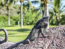 享用在一块石头的鬣鳞蜥太阳有绿色植被背景 免版税库存照片