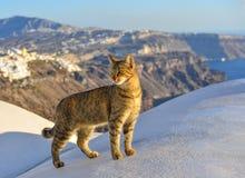 享用在圣托里尼海岛上的一只俏丽的猫 库存图片