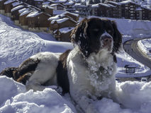 享用在山的大狗雪 库存图片