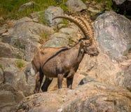 享用夏天太阳的高地山羊 库存照片