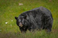 享用夏天太阳的黑熊 库存照片