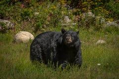 享用夏天太阳的黑熊 库存图片