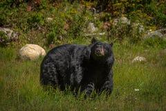 享用夏天太阳的黑熊 图库摄影