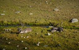享用太阳的斯瓦尔巴特群岛驯鹿在Recherchefjorden, Bellsund,卑尔根群岛 免版税库存照片