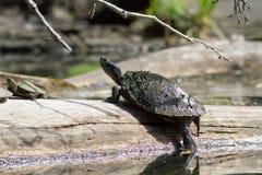 享用太阳的被绘的乌龟 图库摄影