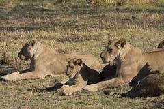 享用太阳的雌狮和崽 免版税库存图片