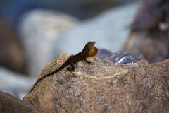 享用太阳的鬣鳞蜥 库存图片