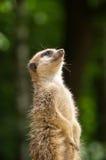 享用太阳的Meerkat 免版税库存图片