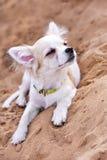 享用小狗的奇瓦瓦狗晒日光浴 库存图片