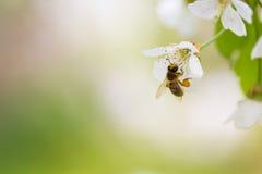 享用开花的樱桃树的蜂蜜蜂 库存照片