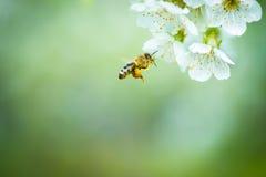 享用开花的樱桃树的蜂蜜蜂 免版税图库摄影