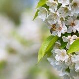 享用开花的樱桃树的蜂蜜蜂 免版税库存图片