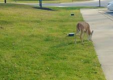 享用快餐的鹿在边路附近 库存图片