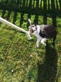 享用拔河的波士顿狗 免版税库存图片