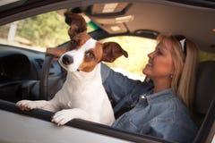 享用插孔乘驾罗素狗的汽车 免版税库存图片