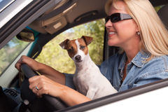 享用插孔乘驾罗素狗的汽车 库存图片