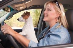 享用插孔乘驾罗素狗的汽车 免版税图库摄影