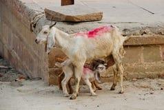 享用新鲜的牛奶的山羊孩子在恒河附近在印度 免版税图库摄影