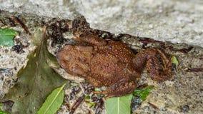 享用湿的布朗蟾蜍 免版税库存照片