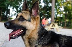 享用狗公园的德国牧羊犬狗 图库摄影