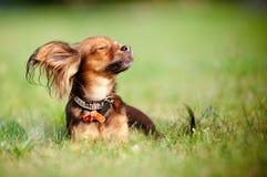 享用红色俄国星期日玩具的狗 库存图片