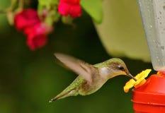 享用花蜜的蜂鸟 免版税图库摄影