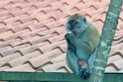 享用食物的猴子 免版税库存图片