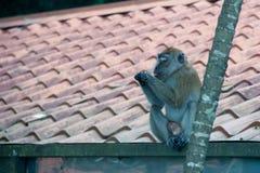 享用食物的猴子 免版税图库摄影