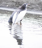 享用水坑的Gentoo企鹅 图库摄影