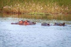 享用水的几匹河马 库存图片