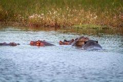 享用水的几匹河马 免版税库存照片
