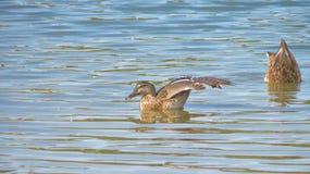 享用水的母野鸭 免版税图库摄影