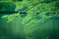 京都植物园槭树在春天期间的在京都,日本 库存图片