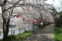 京都樱桃树 免版税库存图片