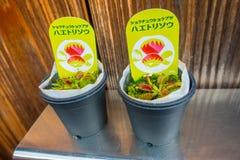 京都,日本- 2017年7月05日:一个罐的肉食植物在Gion区的一个市场上在京都 免版税库存照片