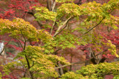 京都,日本- 11月24 :在Eikando寺庙的秋天叶子在Novem 免版税库存图片