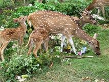 亭可马里/斯里兰卡的神圣的鹿 免版税图库摄影