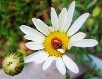 亲吻一朵美丽的花的瓢虫 免版税库存照片