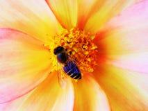 亲吻一朵美丽的花的蜂蜜蜂 图库摄影