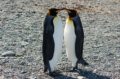 亲吻企鹅的国王 库存照片