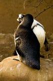 亲吻企鹅 库存图片