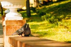亲吻在公园的野生都市鸠 免版税图库摄影