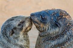 亲吻在大海狮群,海角十字架,纳米比亚,南部非洲的两条南非海狗画象  库存图片