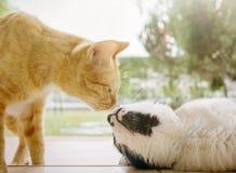 亲吻在spingtime的街道的两只猫户外 在鼻子的焦点 免版税库存照片